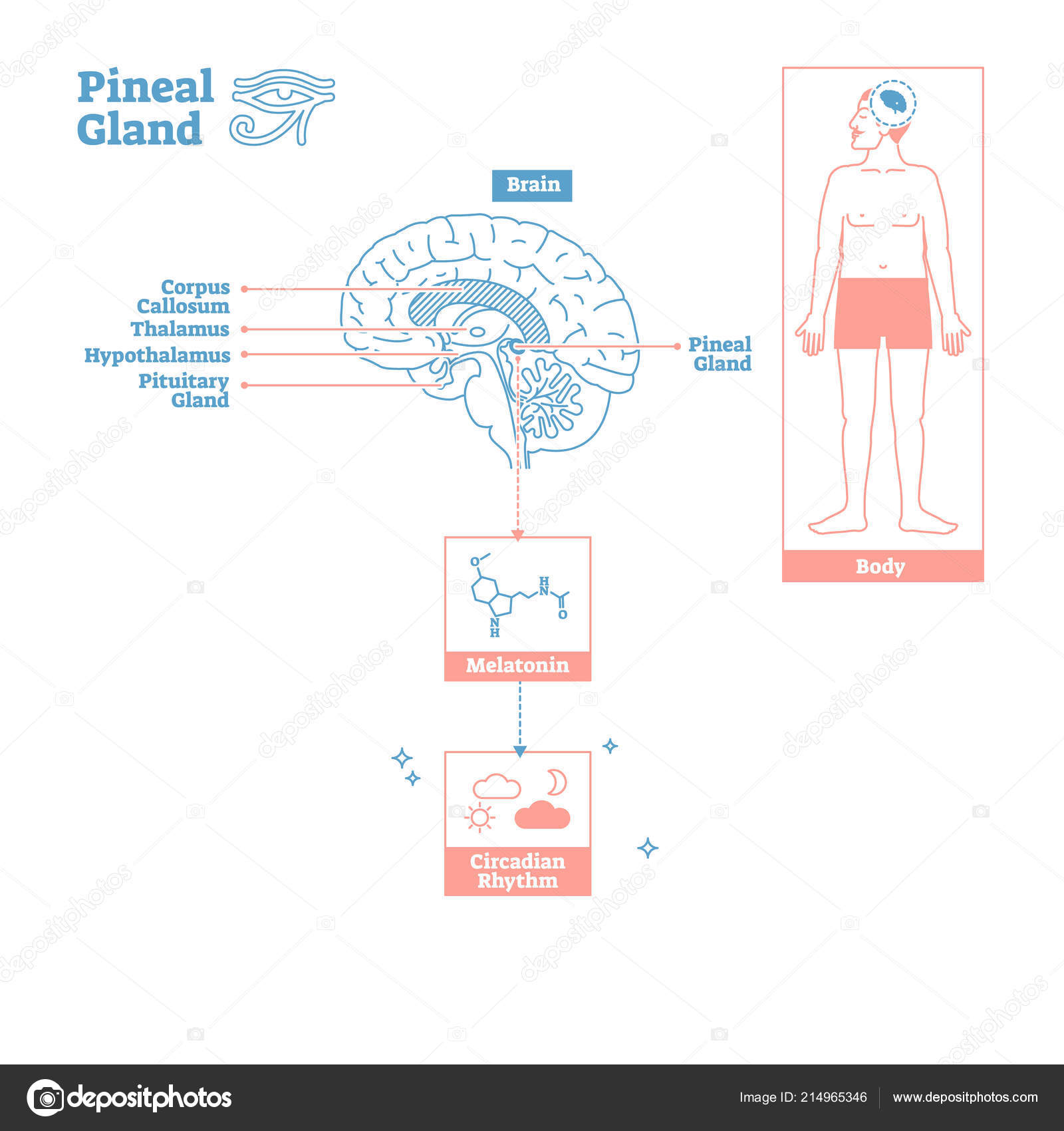 Pineal Gland Of Endocrine Systemdical Science Vector Illustration