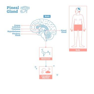 Pineal Gland of Endocrine System.Medical science vector illustration diagram.