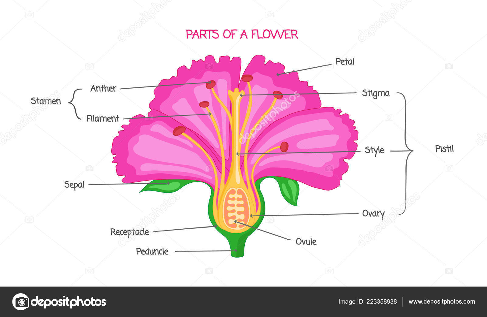 Cross Section Of A Hibiscus Flower