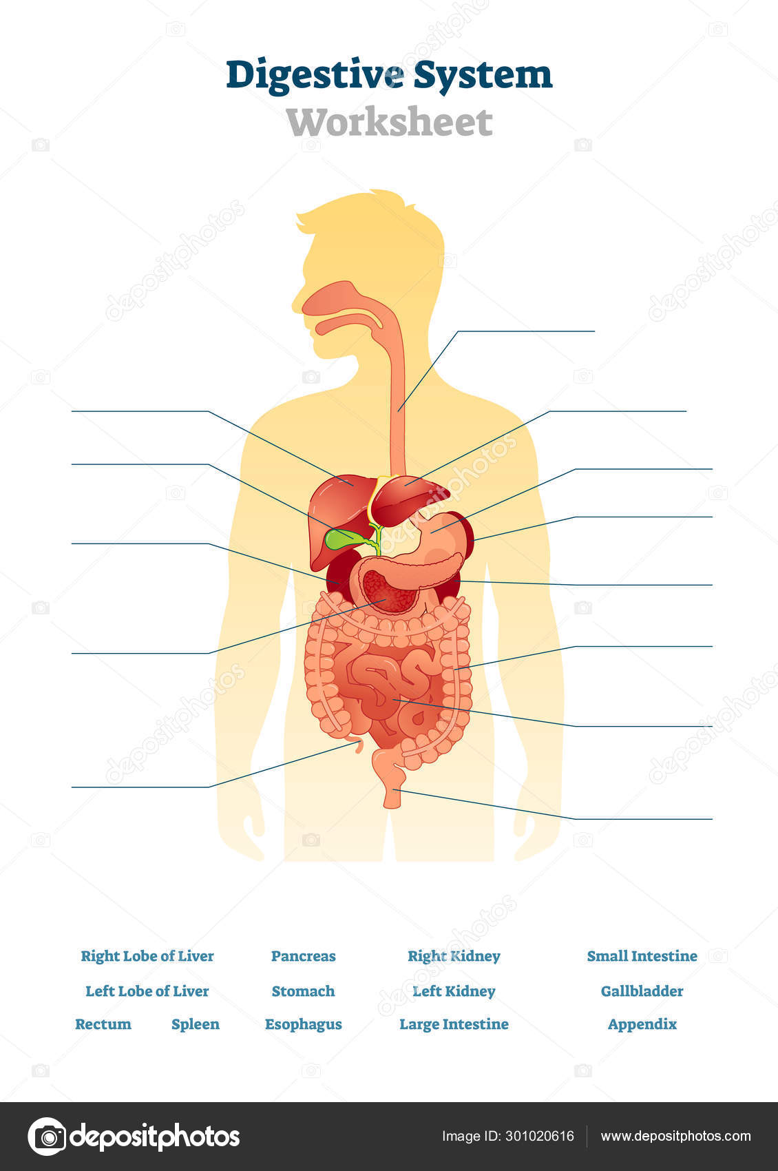 Digestive system worksheet vector illustration. Blank inner ...