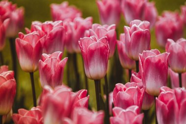 Filtered image of ping tulip flowers in a spring garden