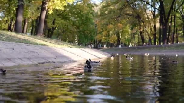 Entenschwärme schwimmen im Park im Teich