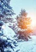 Mrazivý zimní krajina v zasněženém lese. Borové větve pokryté sněhem v chladné zimní počasí. Vánoční pozadí s jedlí