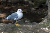 Glaucous Gull ( Larus hyperboreus ) portrait close-up .