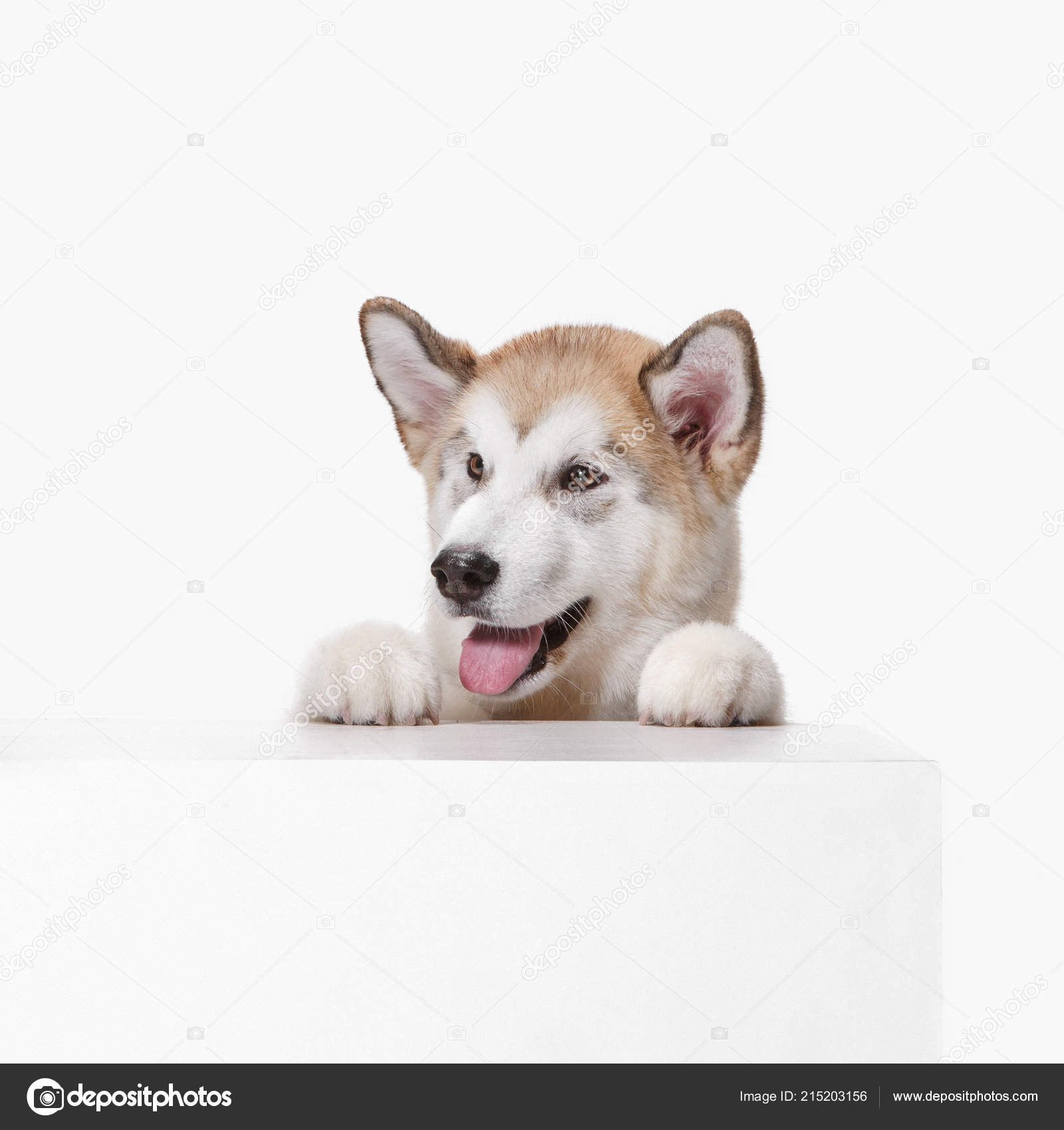 Husky Malamute Puppy Lying Panting Isolated On White Stock Photo