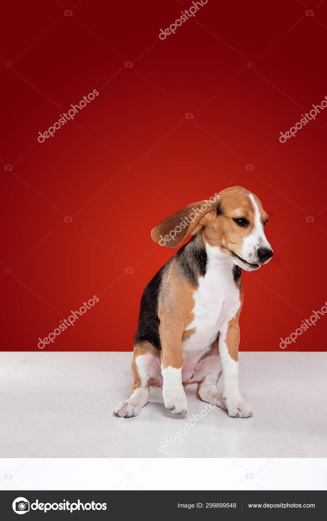 Studio Shot Of Beagle Puppy On Red Studio Background Stock Photo C Vova130555 Gmail Com 299899548