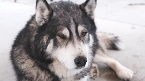 Psí plemeno Aljašský malamut na venkovní