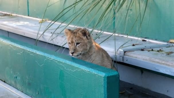 Mládě lva a Tygřík hraje na hřišti. Soči Zoo. Volně žijící zvířata v zajetí. Cirkus.