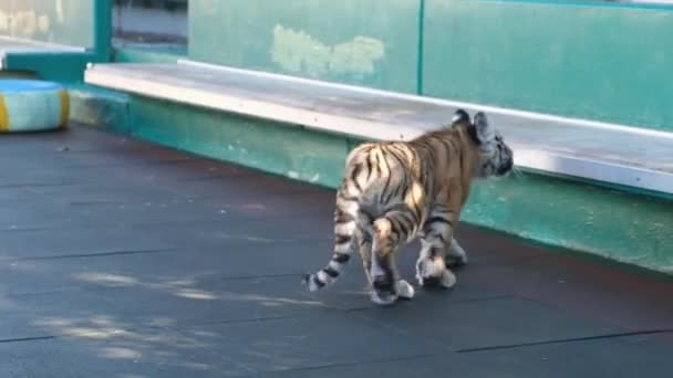 Lion cub and tiger cub playing on the court. Sochi Zoo. Wild animals in captivity. Circus.