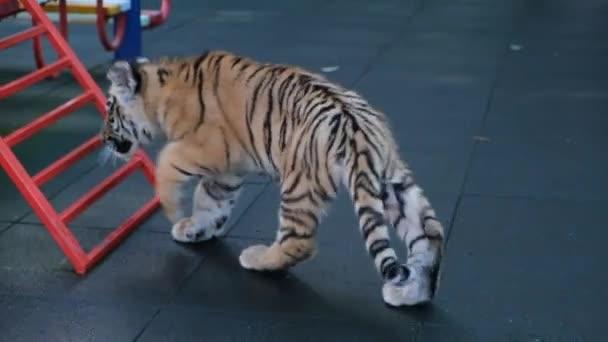Primo piano del cucciolo di tigre occhi azzurri poco carina nel giardino zoologico di Sochi