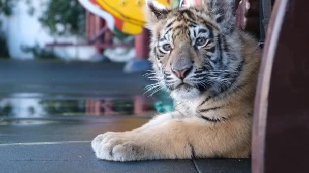 Közeli kép: aranyos kis kék szeme tigris kölyök-Sochi állatkertben