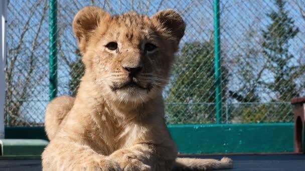 Afrikanischer Löwe, Pantherlöwe, Junglöwe leckt Pfote, Löwenjunges spielt auf dem Platz.