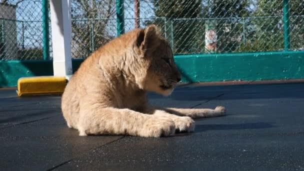 Afrikanischen Löwen, Panther, Löwe, Cub leckt Pfote, Löwenjunges spielen auf dem Platz.