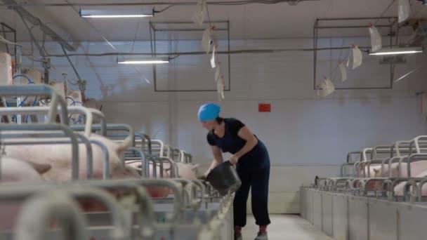 Prase zemědělský pracovník krmí prasata intenzivního chovu prasat