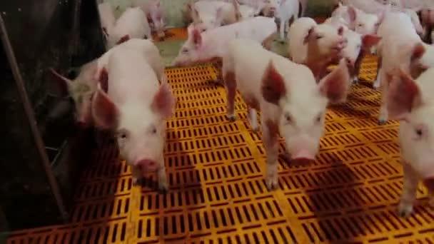 Schweine behandelten Camcorder und klettern Schnauze in die Linse