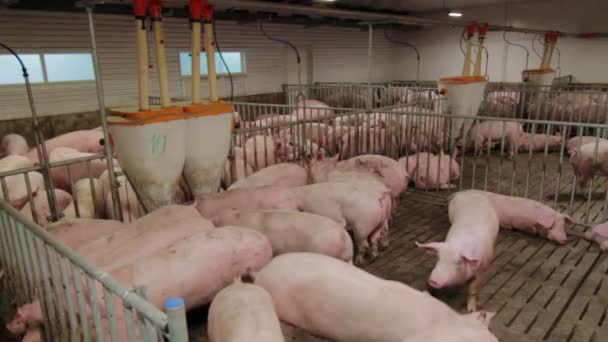 Schweinemastanlage mit vielen Schweinen