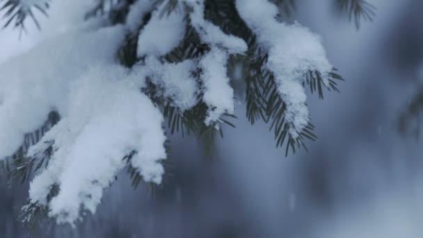 Zimní borový les s zasněžené vánoční stromky