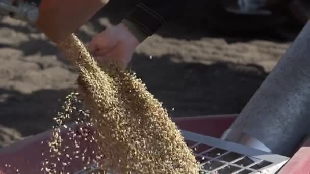Slow motion of unloading wheat in the tractor trailer for sowing land.