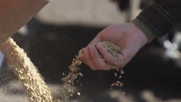 Grains of wheat falling from tractor. Farmer touching and sifting wheat grains.