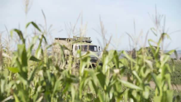 Kukorica Harvest. Gazdálkodók munka kukorica Field. Mezőgazdaság kukorica Farm Harvest. Golden kukorica termesztés. Ökológiai farmer