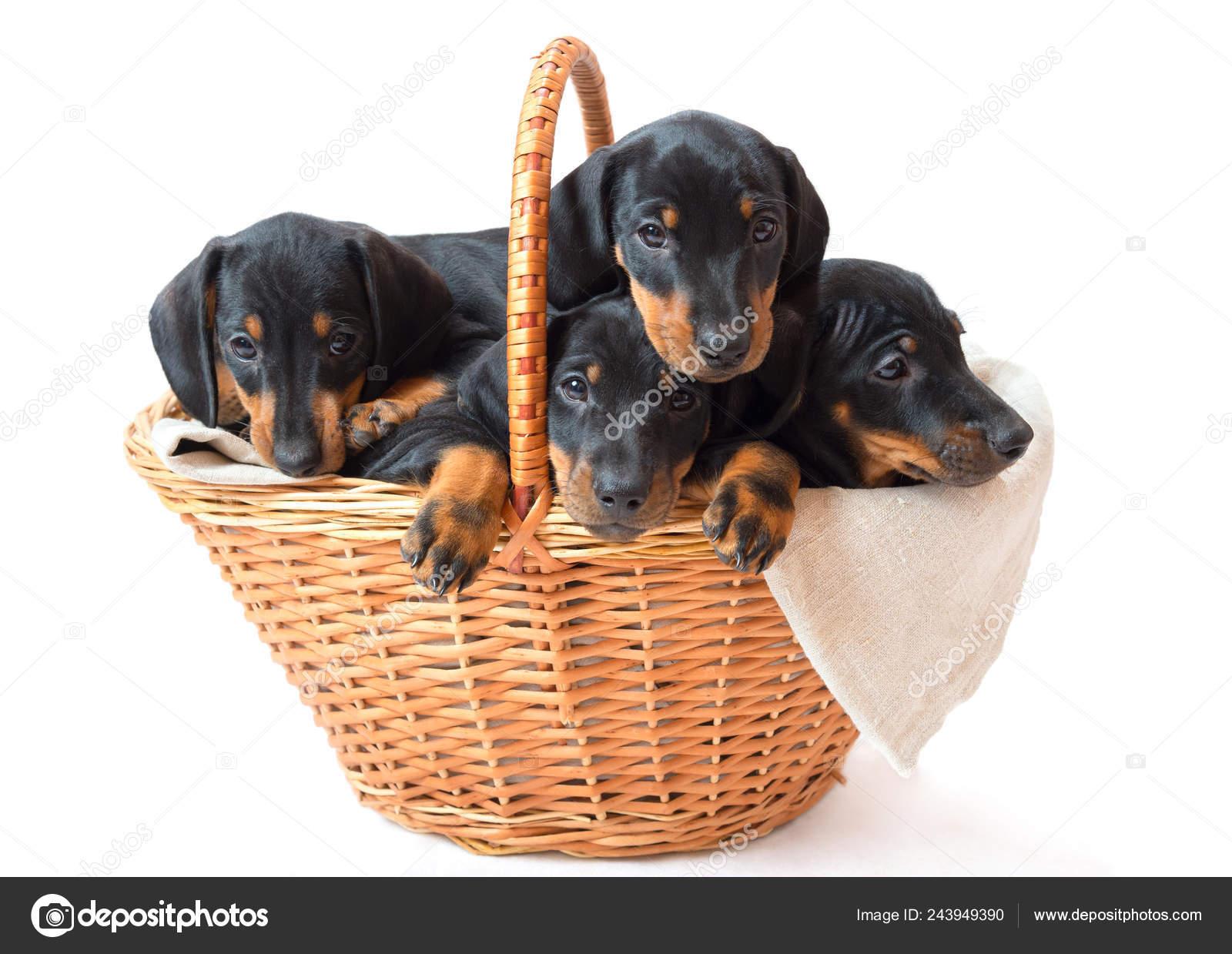 Five Two Month Smooth Black Tan Dachshund Puppies Basket Stock Photo C Antmos 243949390