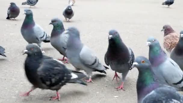 Large group of pigeons walking