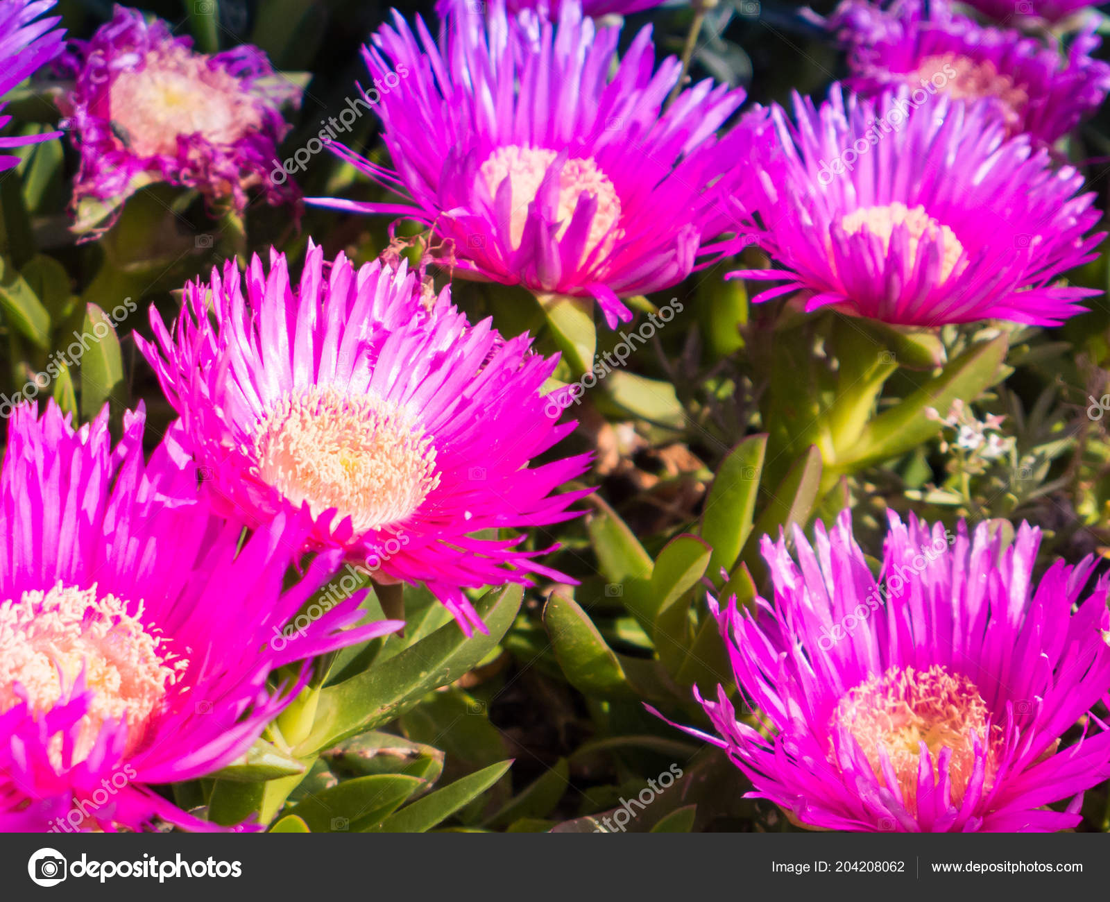 Carpobrotus genus ground creeping plants succulent leaves large carpobrotus is a genus of ground creeping plants with succulent leaves and large daisy like flowers photo by digitalsignal izmirmasajfo