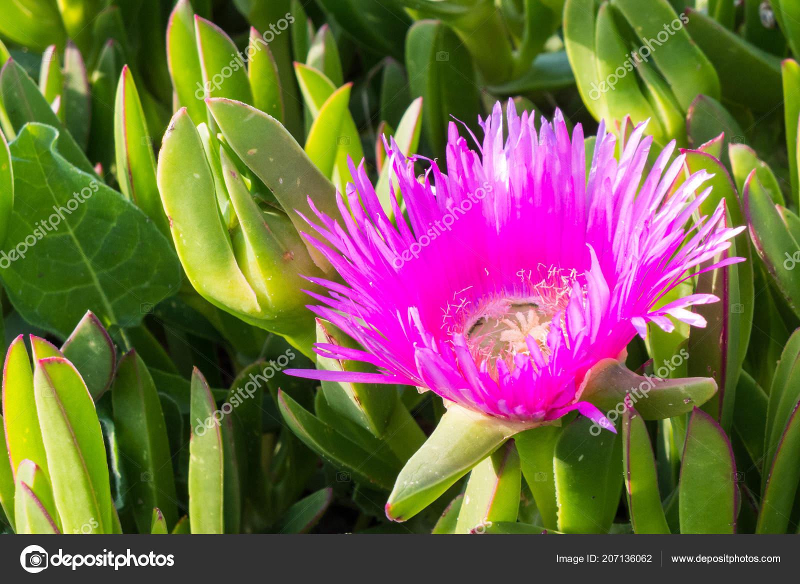 Carpobrotus Genus Ground Creeping Plants Succulent Leaves Large