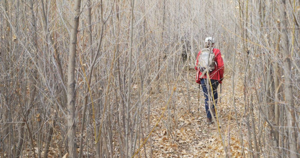 Adventurous senior woman with walking staffs hiking through forest of dead trees