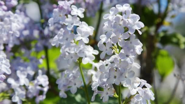 Lila lila virágok fa természetes szezonális