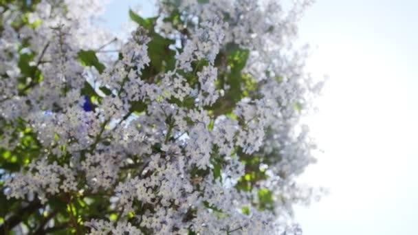 Lilac purple flowers tree natural seasonal