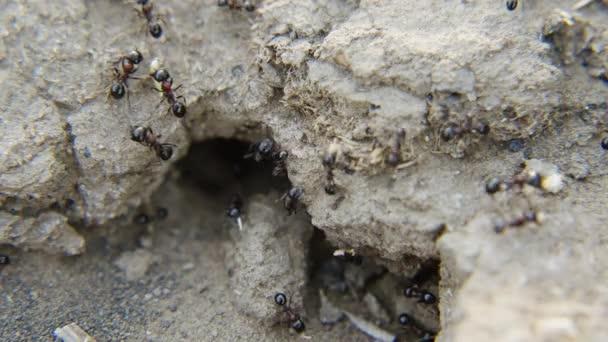 Javára a kolónia hangyák munka