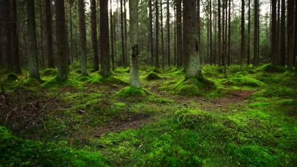 Borovice lesní půdu pokryta hustou vrstvou mechu
