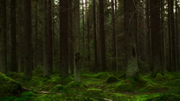 mechový borový les