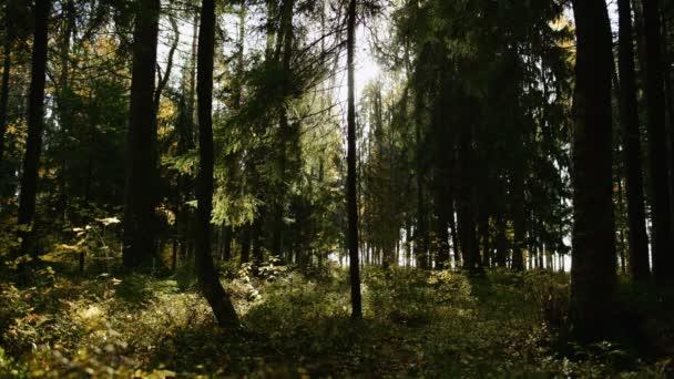 Sluneční paprsky dělají jejich cestu hustým borovým lesem