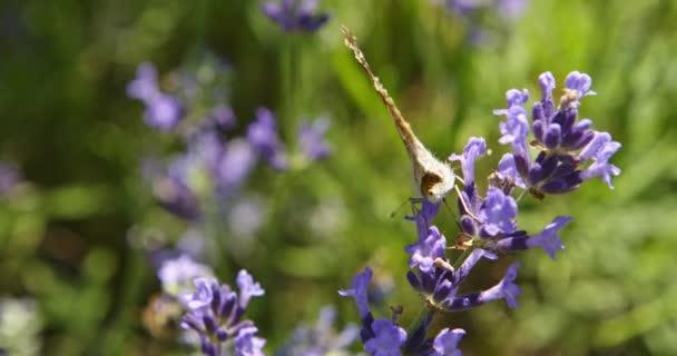 Pillangó lila virágokon