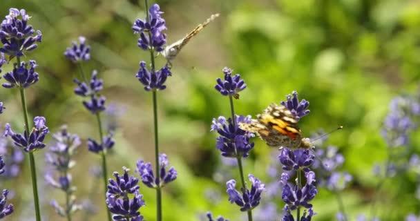Motýl na fialových květinách