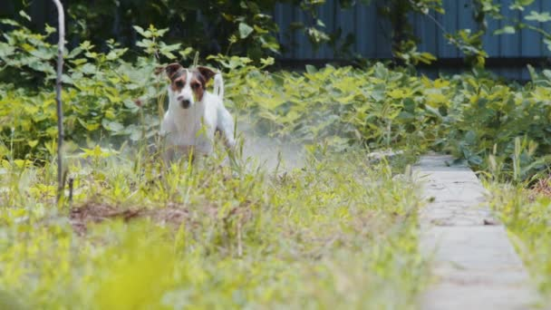 Shot of jack Russell dog