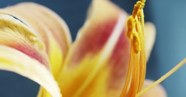 Makro-sárga narancs liliom virág