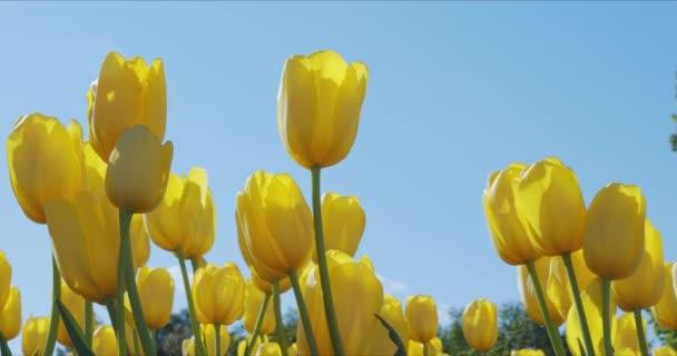 Krásné barevné žluté tulipány květiny květ