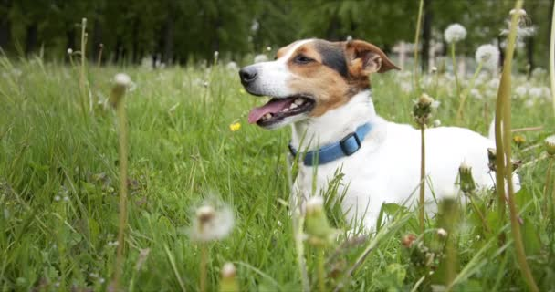 Small dog of the Jack Russell Terrier breed is lying on a green meadow with its tongue hanging out.