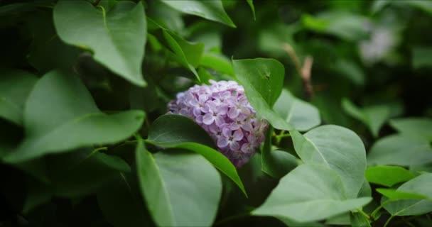 Virágzó lila orgona