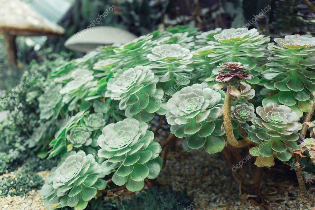 Succulents and cactus in a garden. Echeveria, a stone rose. Horizontal photo. Selective focus