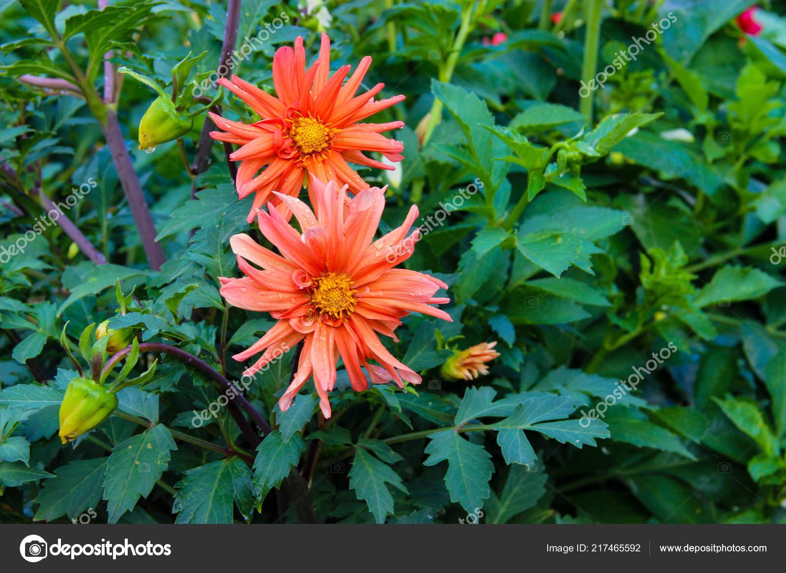 Close Flor Dahlia Jardim Entre Folhas Stock Photo C Aarud 217465592
