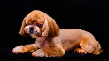 a very beautiful Shih Tzu dog is lying on a black background. in ancient times, it was considered the property exclusively of the Emperor.