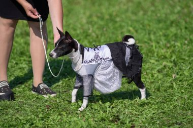 dog basenji in a Spanish dress on a background of green grass cl