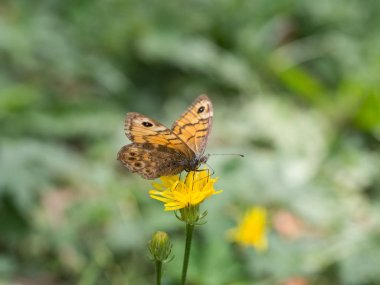 Close up of Lasiommata megera, or wall brown butterfly sitting on a yellow flower with outstretched wings