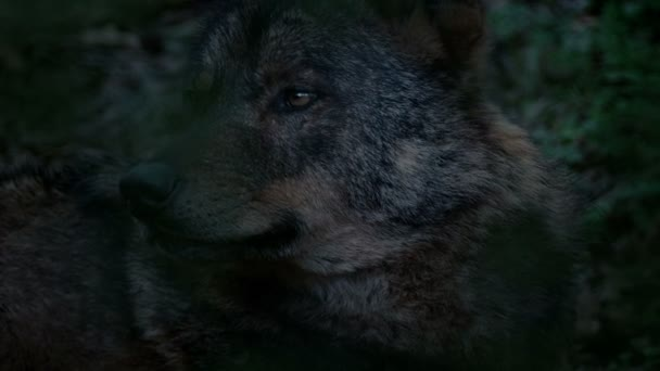 Wolf Looking Around Deep In Woods In The Evening