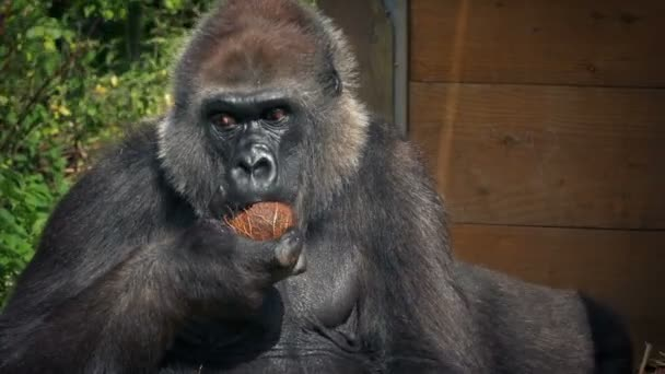 Gorilla Eating Coconut At The Zoo