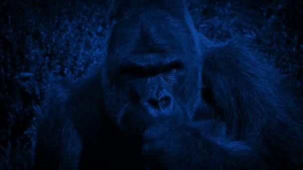 Silverback gorila jíst rostliny v noci